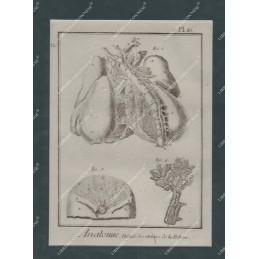 anatomie-details-des-arteres-de-la-poitrine