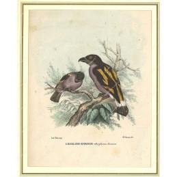 eurilaimo-giavese--litografia-originale-depoca