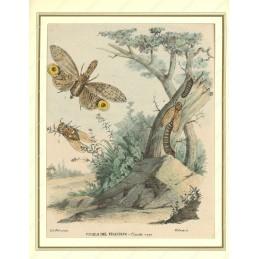 cicala-del-frassino--litografia-originale-depoca