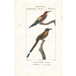 gruccione-e-momoto--litografia-con-coloritura-a-mano-coeva-xix-sec