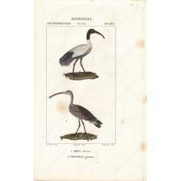 ibis-e-chiurlo--litografie-con-coloritura-a-mano-coeva-xix-sec