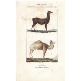 lama-e-dromedario--litografia-con-coloritura-a-mano-coeva-xix-sec