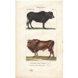bufalo-e-bove--litografia-con-coloritura-a-mano-coeva-xix-sec