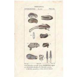 sassicava-bissomia-ecc--litografia-con-coloritura-a-mano-coeva-xix-sec