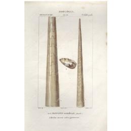 baculite--litografia-con-coloritura-a-mano-coeva-xix-sec