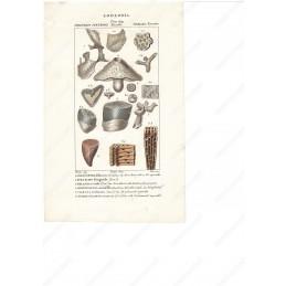 diastopora-ippalimo-ecc--litografia-con-coloritura-a-mano-coeva-xix-sec